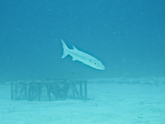Barracuda in Anguilla