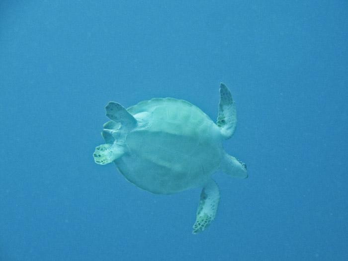 Turtle in Anguilla