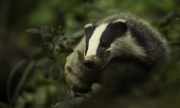 How to photograph badgers: camera settings