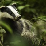 How to photograph badgers: locating and seeing them