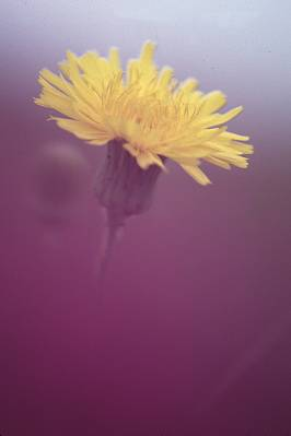 dandelion with purple foreground from another flower blurred, photograph by Brent VanFossen