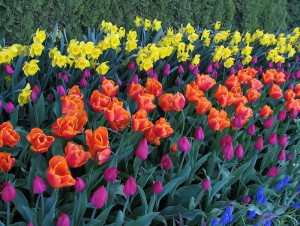 tulip field photograph by Lorelle VanFossen