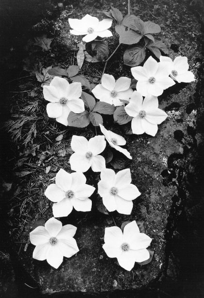 Dogwood Blossoms, 1938 - Photograph by Ansel Adams