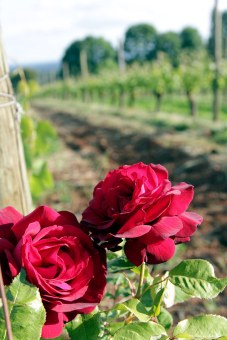 Roses at the end of a row of chardonnay at Clos Electrique (by Matt Giraud)