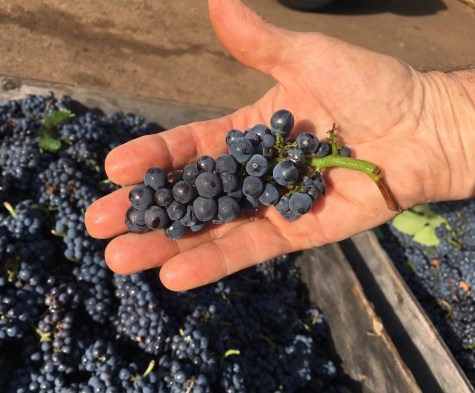 The perfect Pinot noir cluster