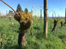 old non-irrigated vine