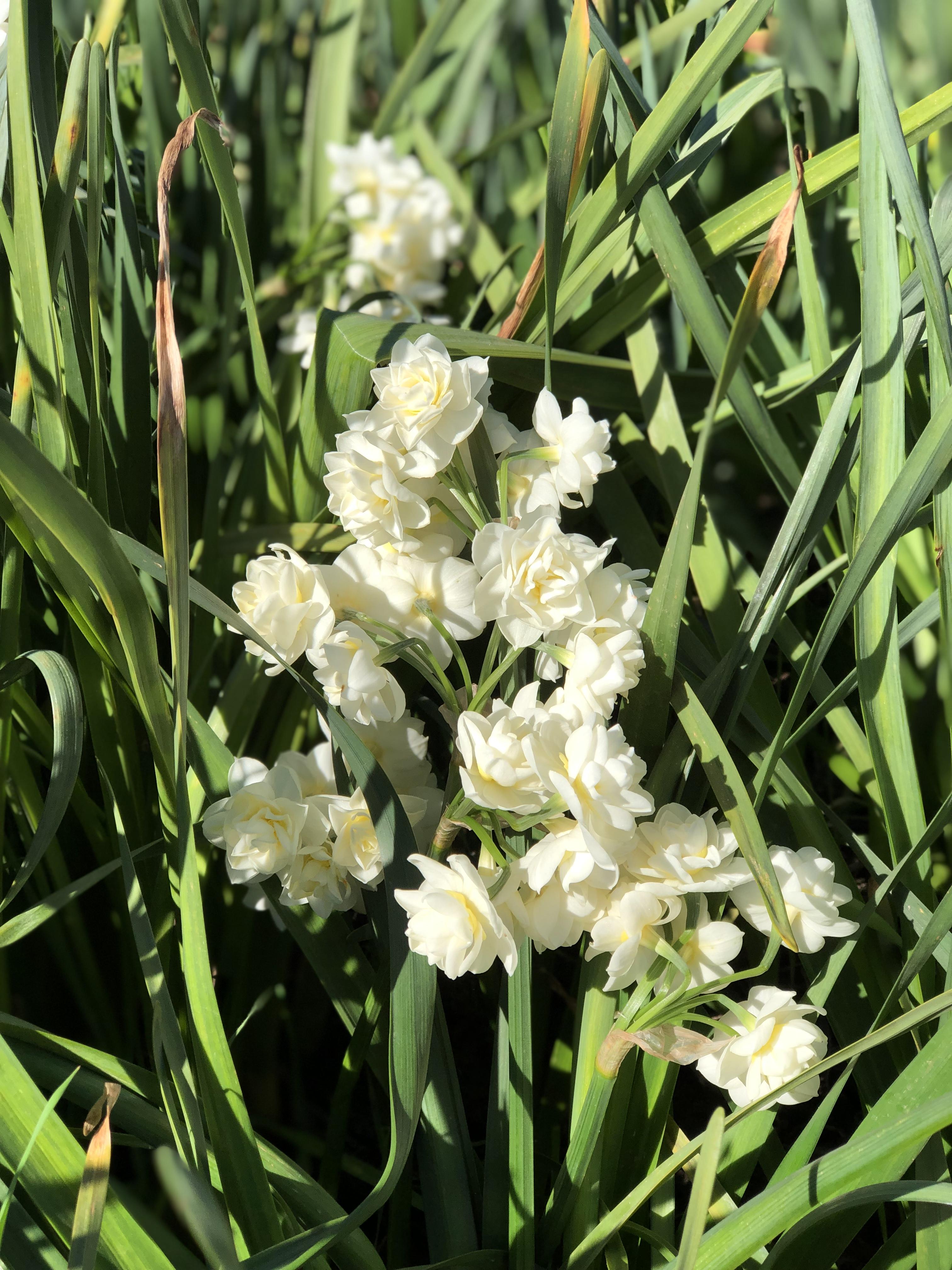 Narcissus Cheerfulness.