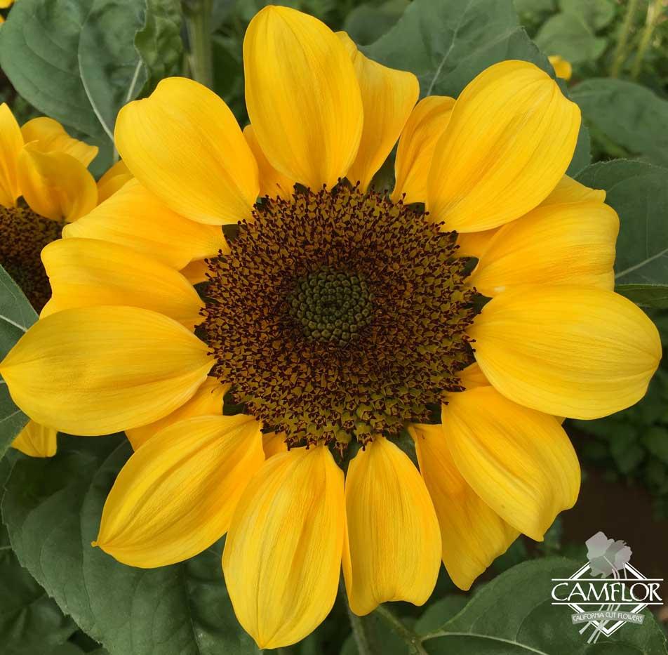 Sunflowers Yellow Black Center Camflor Inc