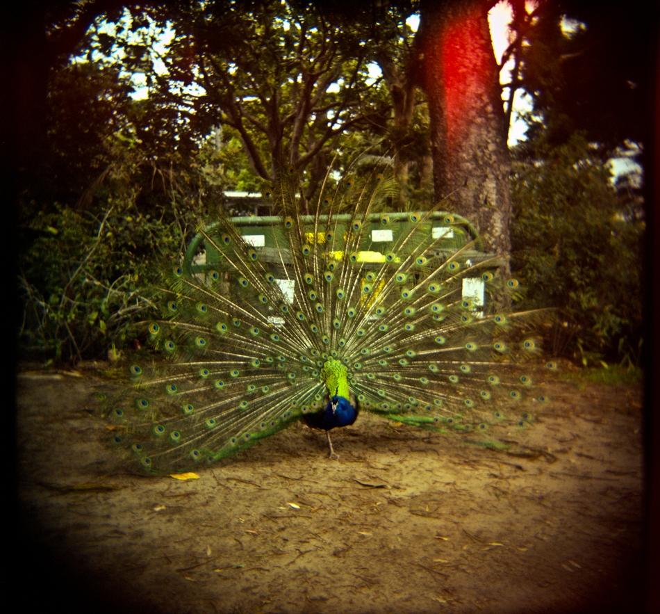 Peacock at Taronga Zoo Sydney