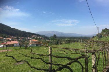 Vinranker på vej til Ponte de Lima
