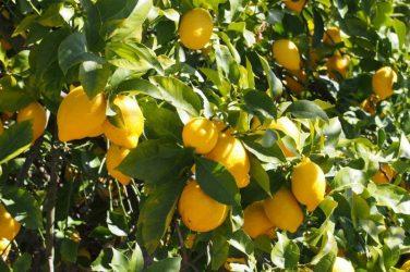 En af de mange fantastiske citrontræer på vejen