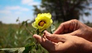 flor algodão pima