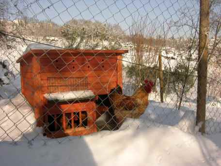 Anche le galline sono imprigionate.
