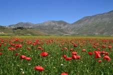 Castelluccio. Il Pian Grande fiorito