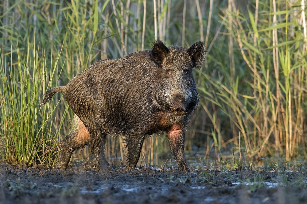 what do  wild hogs look like