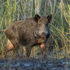 My Big Fat First Hog Hunt Adventure!