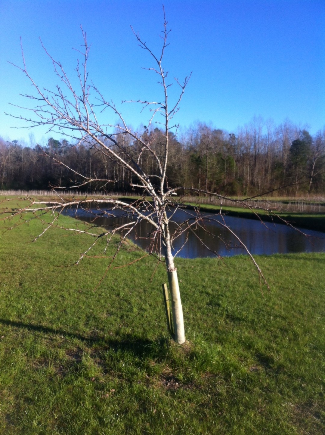 Pear Tree Stand