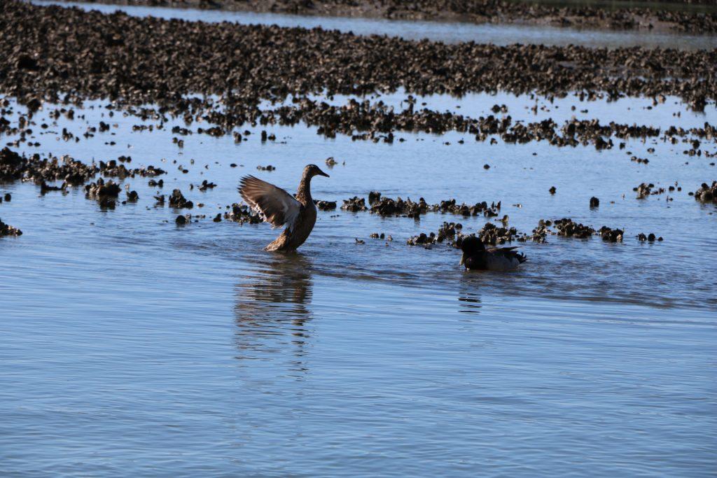 wading birds fishing at low tide