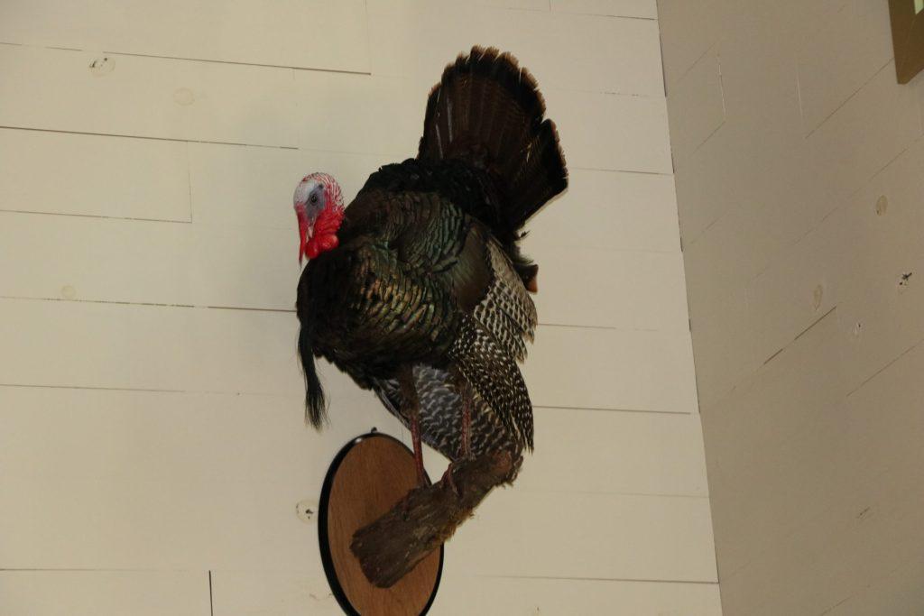 wild turkey mount
