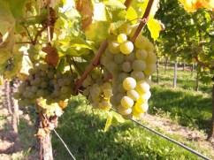 Trauben an Weinrebe