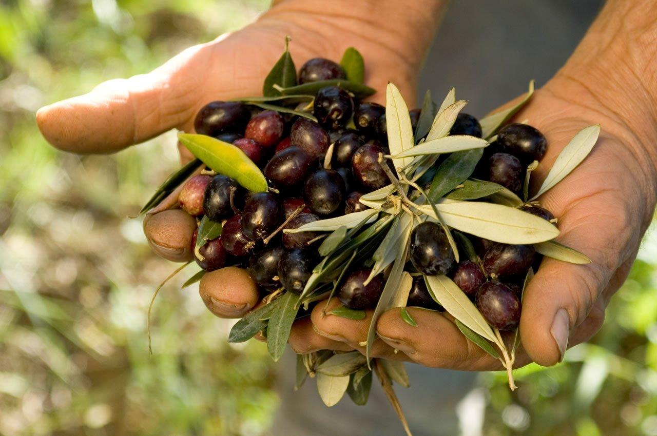 Campania Tipica Raccolta Olive
