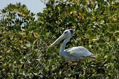 pelican-1-1080p