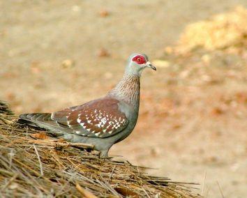 pigeon-roussard-1080p