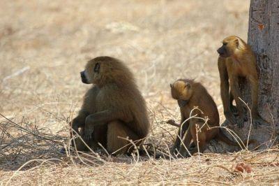 singes-babouins-3-1080p