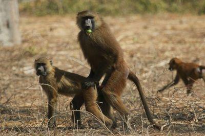 singes-dans-le-parc-du-campement-diu-niombato-8-1080p