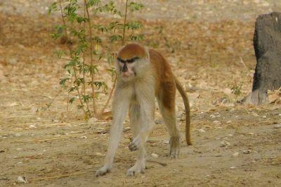 singes-dans-le-parc-du-campement-du-niombato-2-1080p