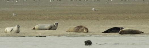 Seehunde auf einer Sandbank, Ein tolles Erlebnis für den Urlaub.