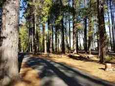 golden-pines (2)