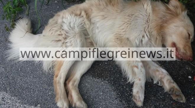 QUARTO/ Investe un cane e lo lascia sofferente per strada, animale salvato dai passanti|FOTO