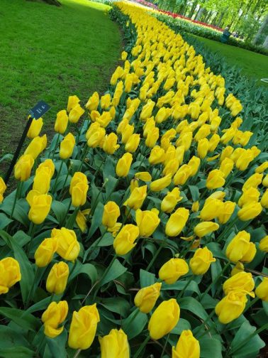 The classic Dutch yellow tulip is a favorite with many