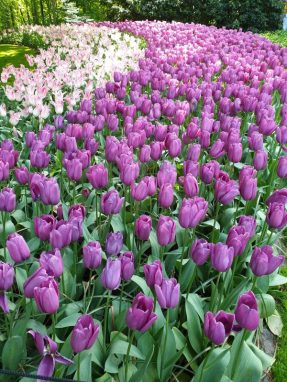 Tulips have evolved greatly over the centuries.