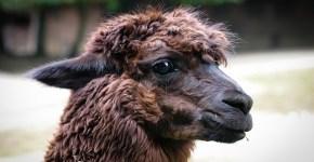 Benefits of Alpaca Wool in the Outdoors