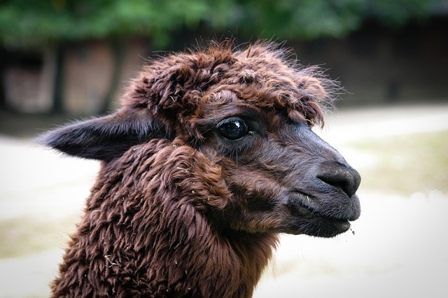 Benefits of Alpaca Wool in the Outdoors