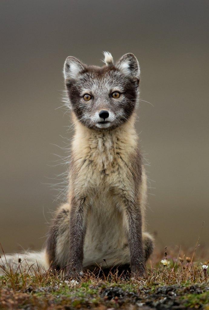 81 Arctic Fox 1 4