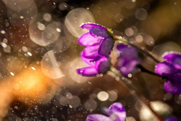 ecom_sample_ossi_nature_purple_flowers