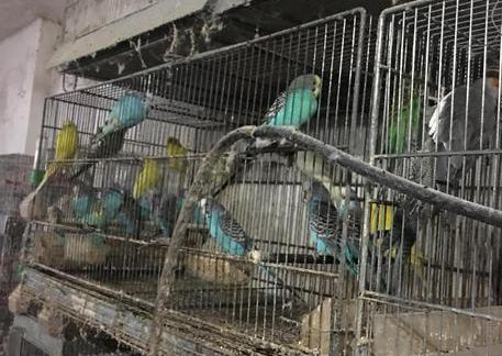 Trapani, Canarini e pappagalli stipati in gabbie, una denuncia