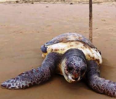 Campobello, Tartaruga spiaggiata ritrovata morta a Tre Fontane