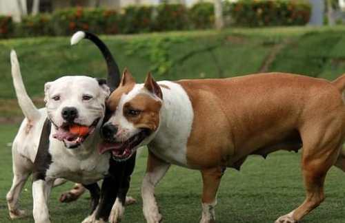 Abbandona cuccioli di pitbull nel parcheggio del centro commerciale: denunciato