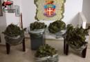 Petrosino: Detenevano in casa 45 kg di marijuana: tre arresti [FOTO]
