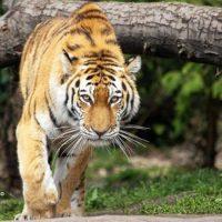 Tigre a spasso per il villaggio indiano, sbranate almeno tre persone (Video)
