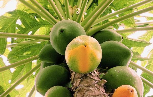 Papaya deshidratada de Campo de Benamayor