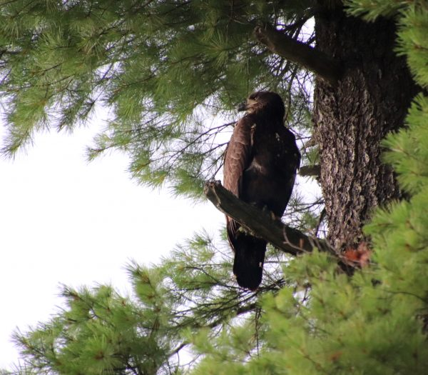 Golden Eagle at Camp Takajo 2018