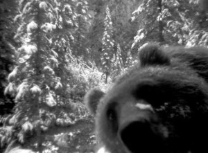 Grizzly Bear takes own photo - courtesy Parks Canada