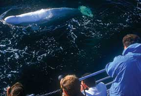 Churchill Beluga Whales courtesy Tourism Manitoba