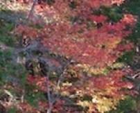 Maple Leaves © Lucy Izon