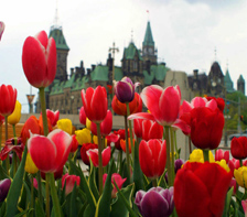 Tulips at Parliament Hill